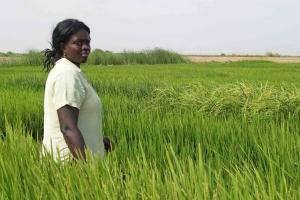 Couvrir l'Afrique de riz…