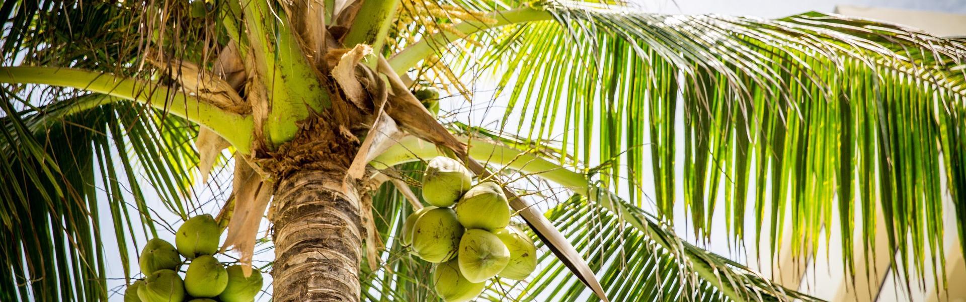Supply vs. Demand of Coconut: An Unprepared Caribbean?