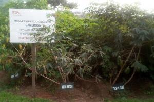 L'IITA innove en matière de production et transformation de manioc