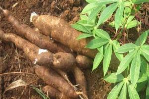 Social Inclusiveness in the Cassava value chain through ICT and Mobile Apps