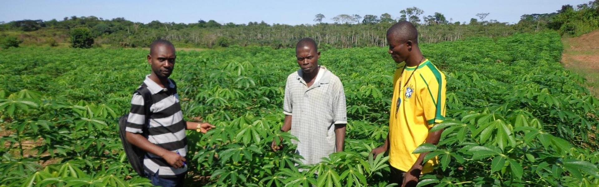 """Résultat de recherche d'images pour """"feuille de manioc agriculture"""""""